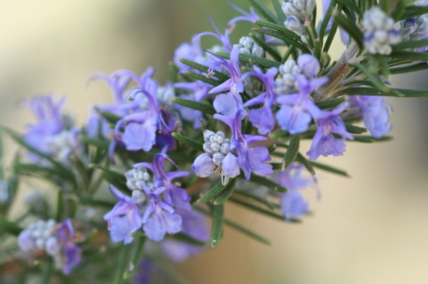 Fragrance Friday: Rosemary