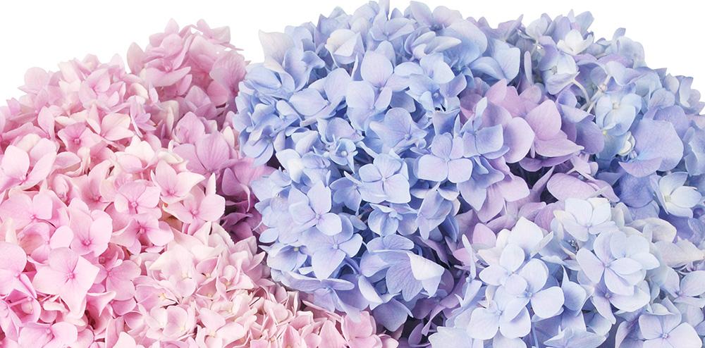 Hydrangea Blooms Fragrantica