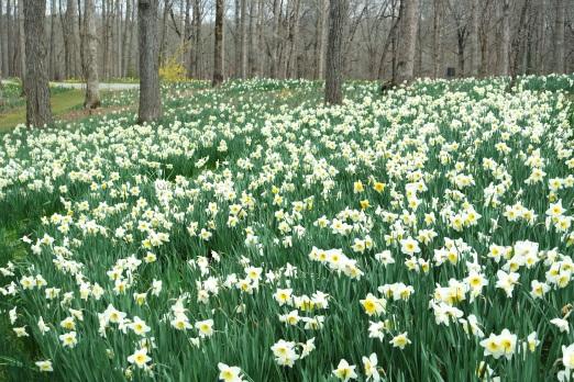 Woodland daffodils, GIbbs Gardens, March 2016