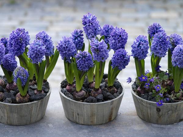Pots of blue hyacinth bulbs in bloom