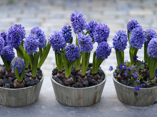 Pots of blue hyacinth bulbs in bloom