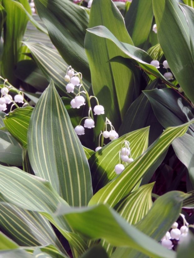 May Muguet Marathon: Always in Bloom