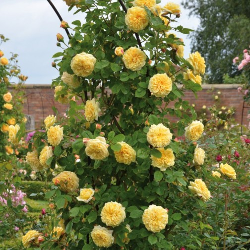 Yellow climbing English rose Teasing Georgia, by David Austin Roses, grown on a pillar.