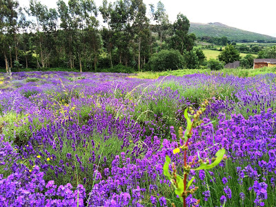 Lavender field in bloom in County Wicklow, Ireland