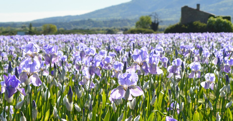 Fields of light purple, mauve and white bearded iris flowers in Provence, southern France
