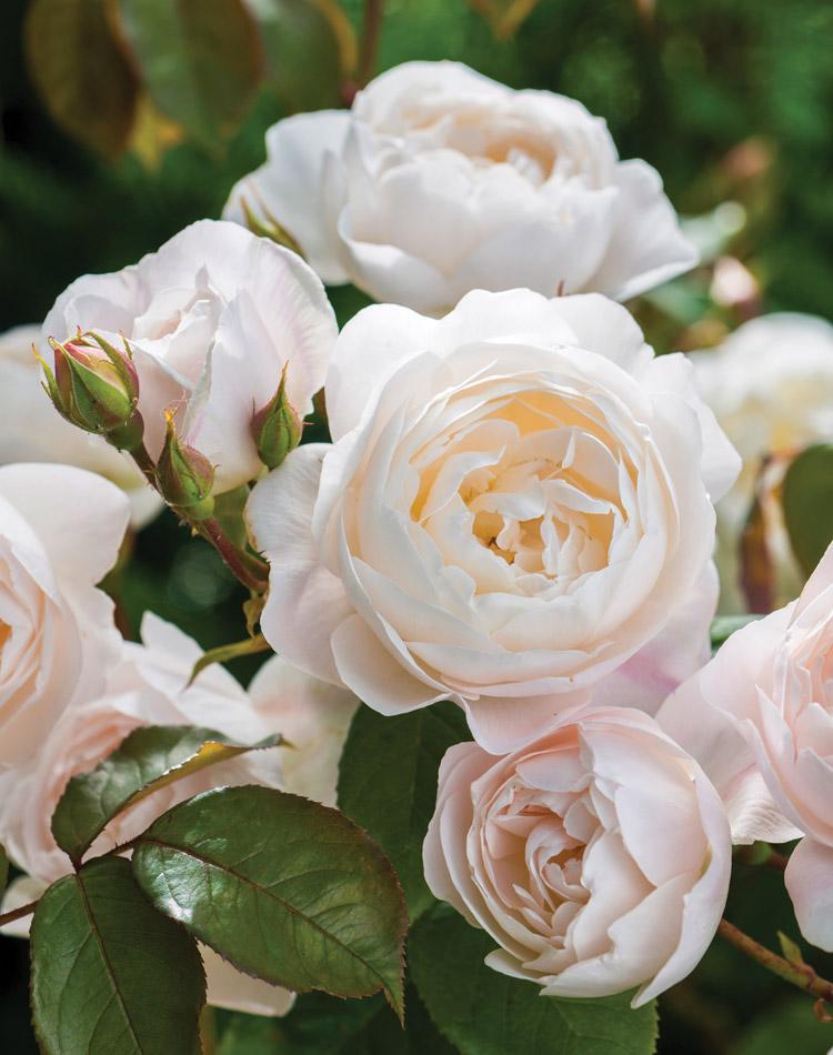 White English rose by David Austin, Desdemona