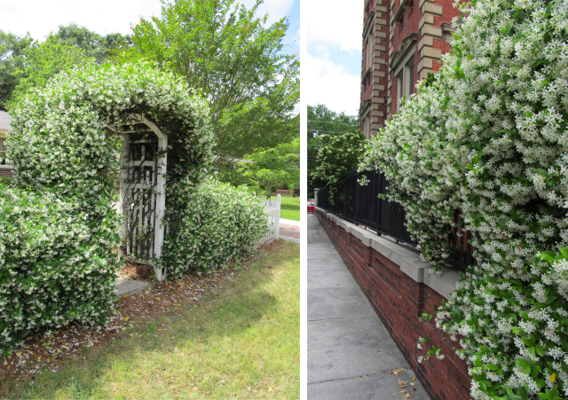 Confederate jasmine vines on wall and arbor, from Old City South blog
