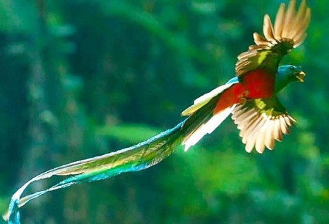 Mexican quetzal bird in flight
