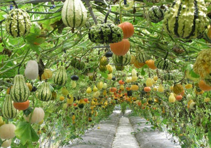Cultivation of gourds and melons hanging from vines in India