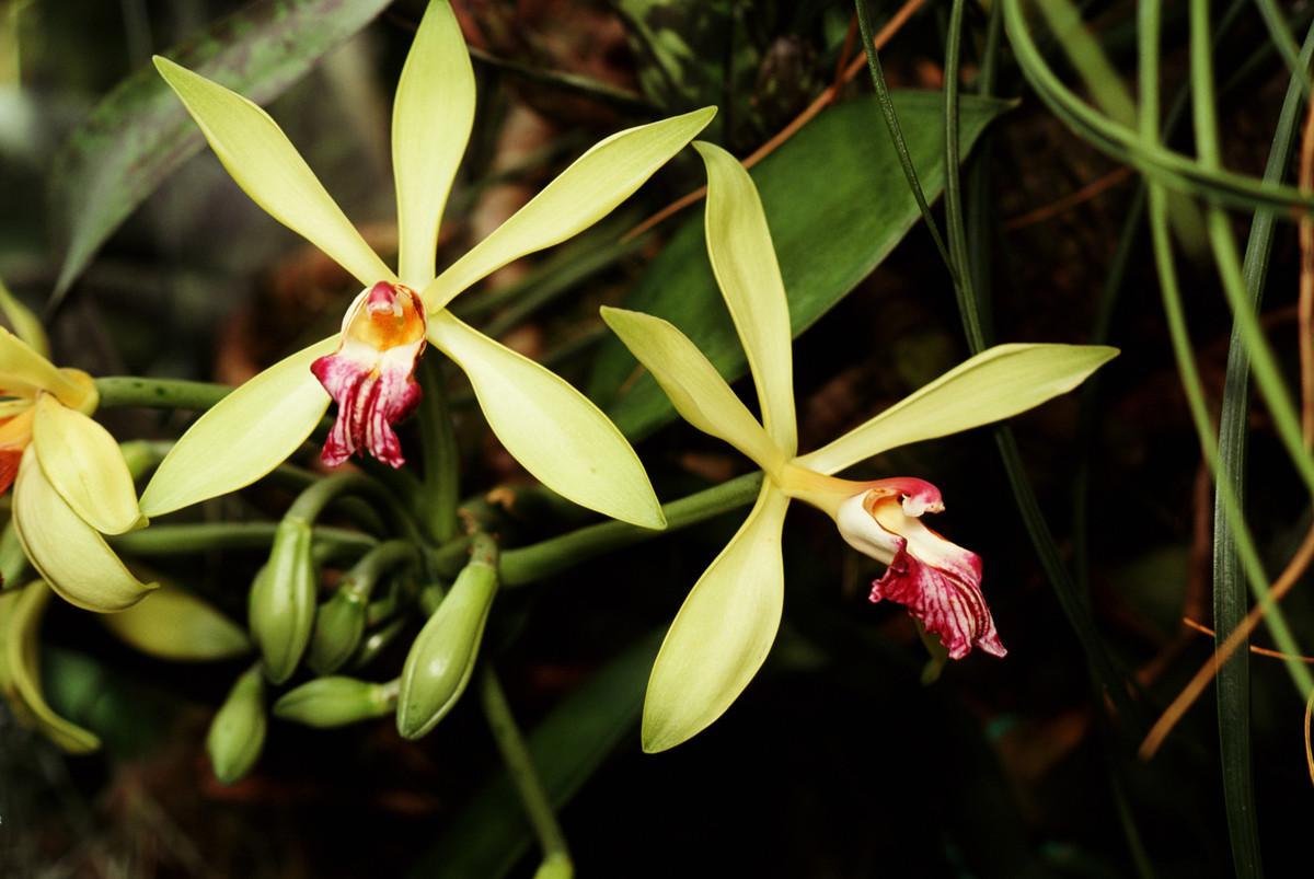 Vanilla orchid vine and flowers by Dan Sams