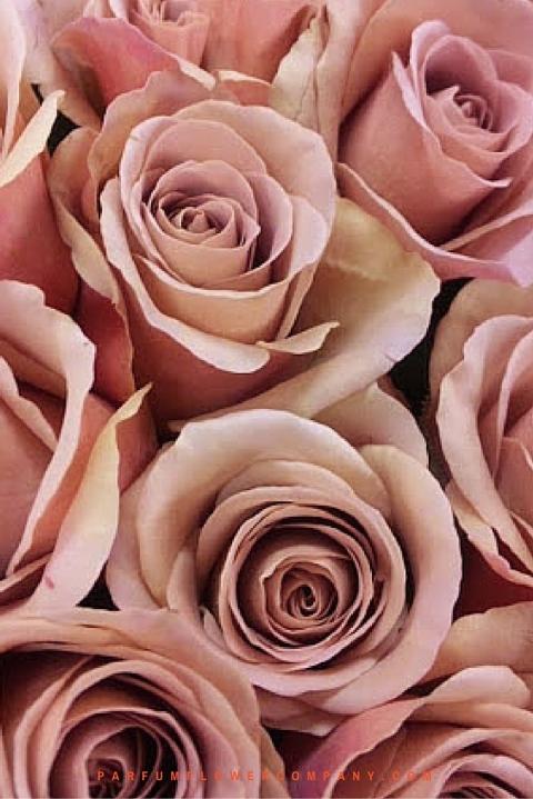 Rose Cafe Latte from flower wholesaler Parfum Flower Company