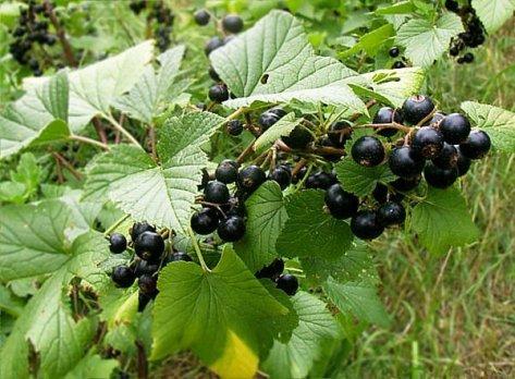 cassis-berry
