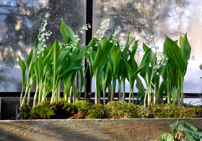 Forced lilies of the valley potted with green moss