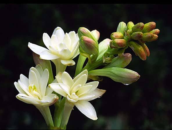 tuberose flower