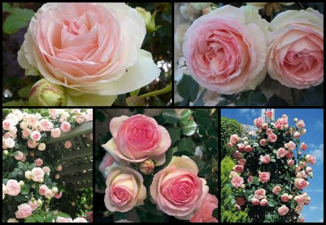Collage images of Eden pink climbing roses, from the House of Meilland.