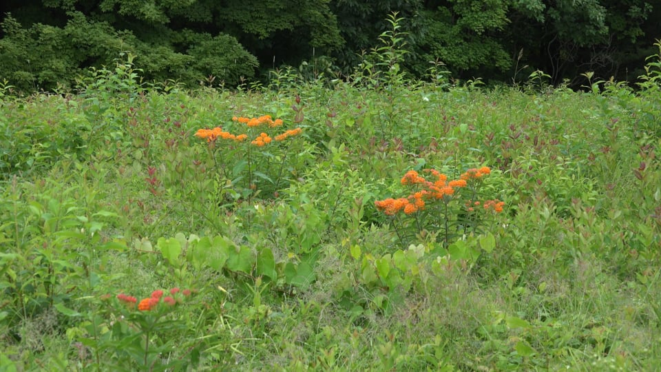Wildflower meadow with butterfly weed in Connecticut