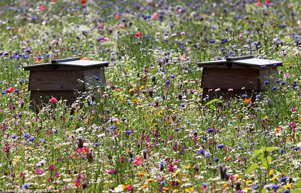 Wooden beehives in multi-colored wildflower meadow.