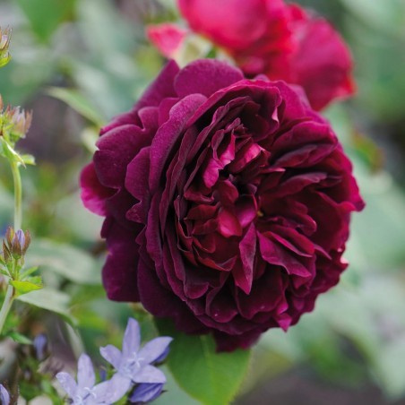 "David Austin English Rose ""Munstead Wood"""
