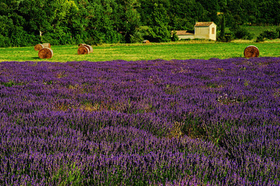 Filed of lavender and hay meadow on French farm in Provence