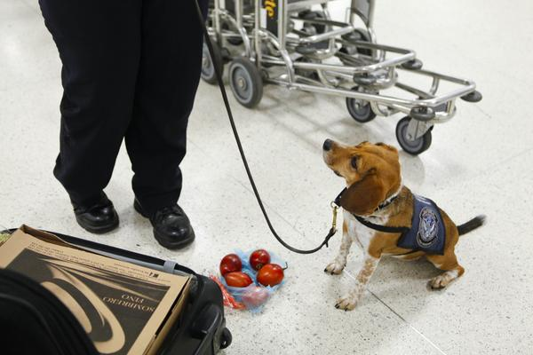 Airport beagle sniffer dog with fruit