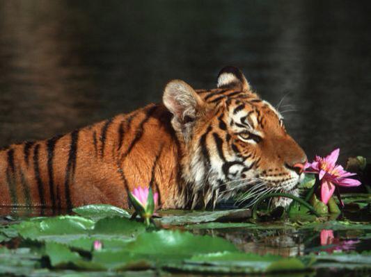 Catch A Tiger By TheToe?