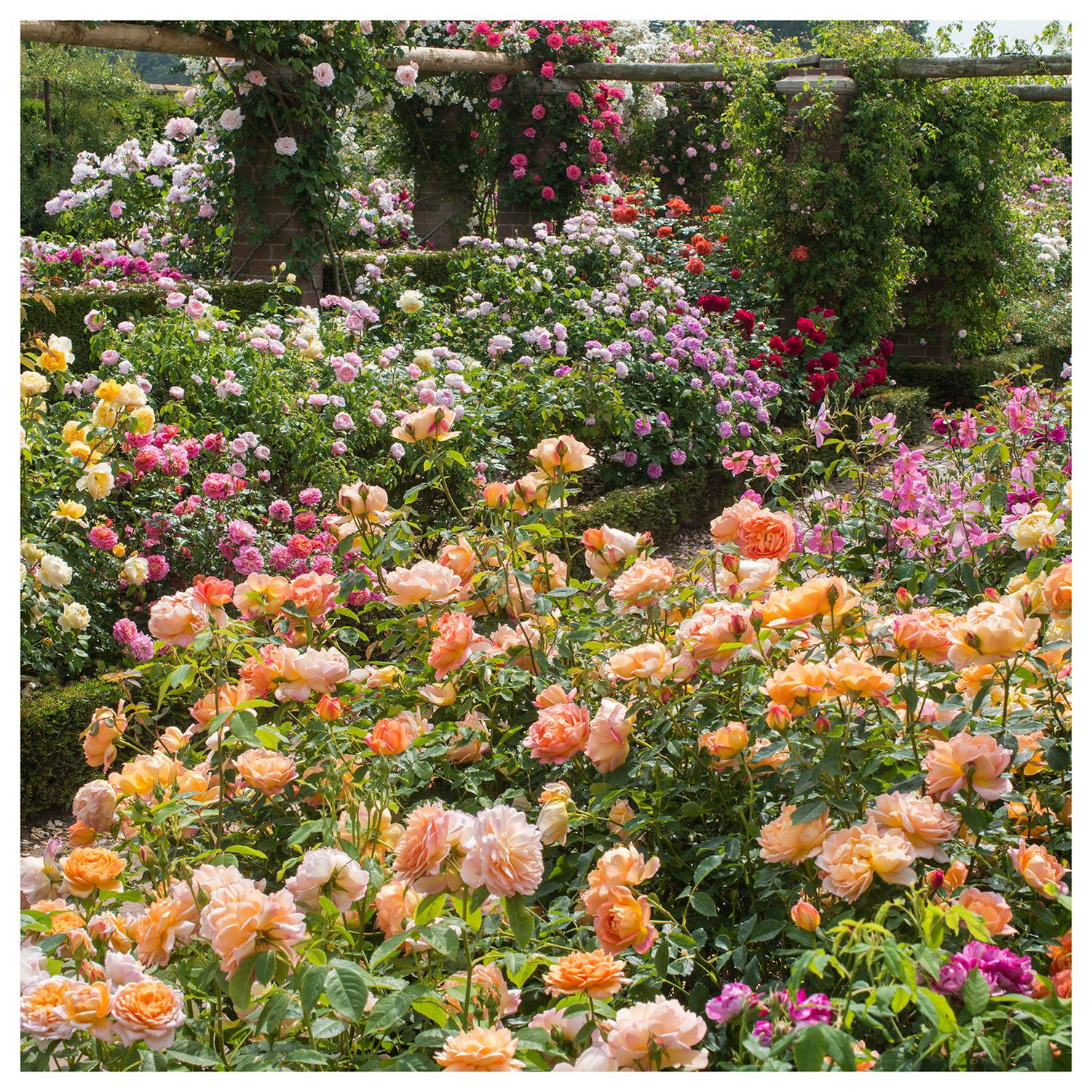 Beds of English Roses at David Austin Roses display, RHS Chelsea Flower Show 2018.