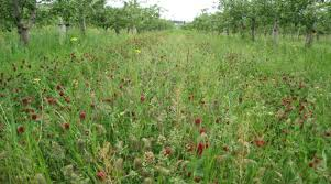 Blossoming red clover underplanting apple trees