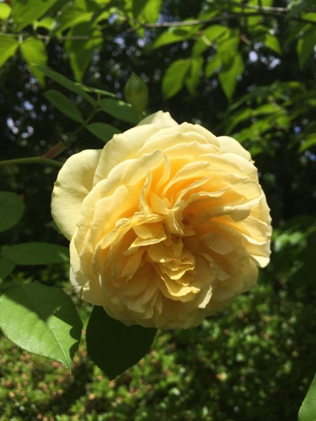 Roses de Mai Marathon: TeaRose
