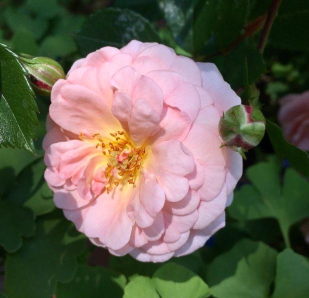 Roses de Mai Marathon: RoseEssentielle