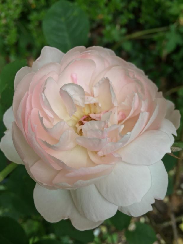 Roses de Mai Marathon: RoseGoldea