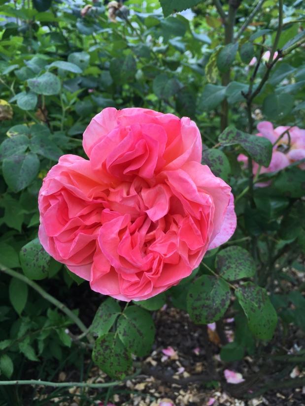 Roses de Mai Marathon: Rosed'Amour