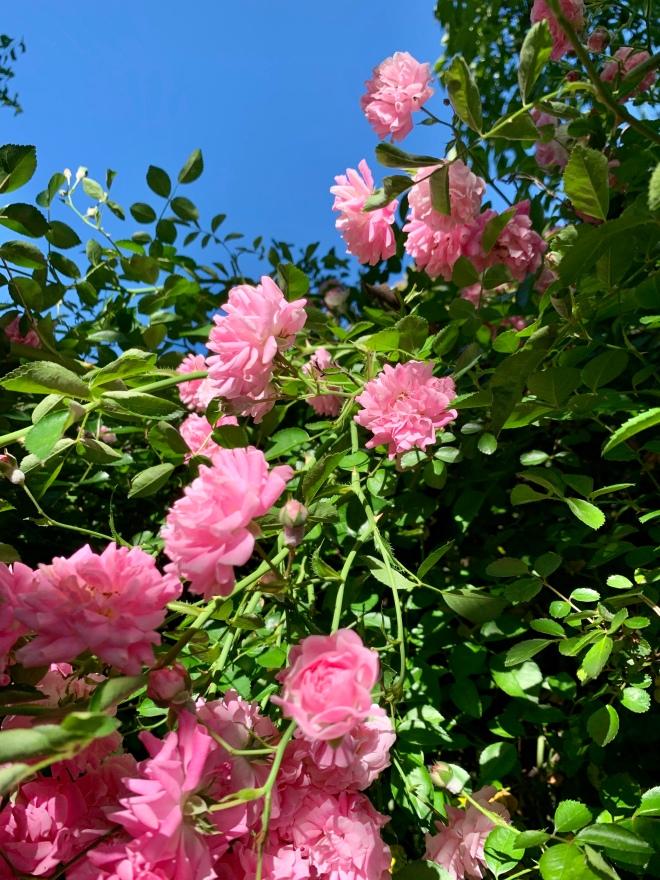 Pink rambling rose in bloom