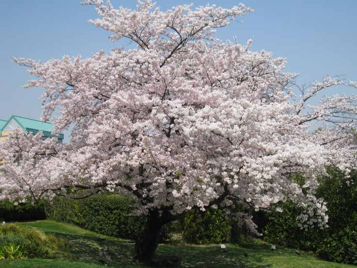 Flowering sour cherry tree in spring with pink blossoms