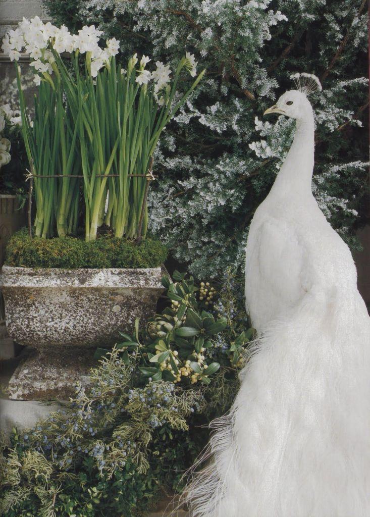 White garden with white peacock